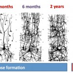 Synaptic Pruning in Early Childhood